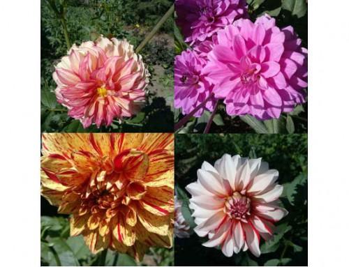 Dahlien in voller Blütenpracht