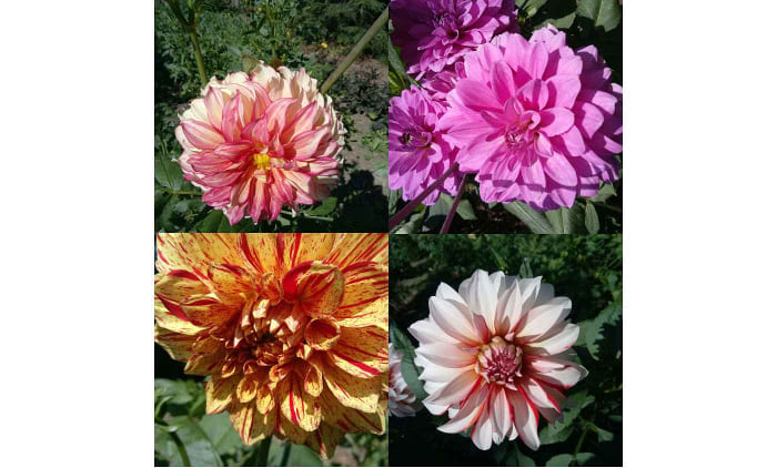 Collage verschiedener Dahlienblüten - DIBATOR GmbH & Co KG