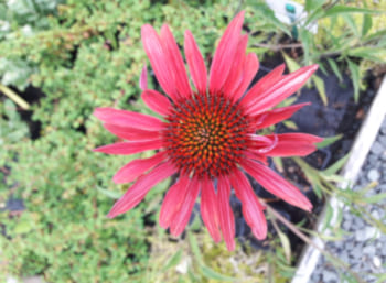 Abbildung: Pflanze des Monats - Thuja