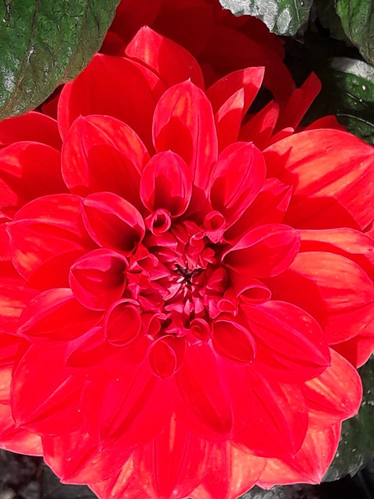 Beitragsbild - Dahlien in voller Blüte