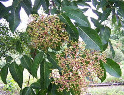 Pflanze des Monats August 2020