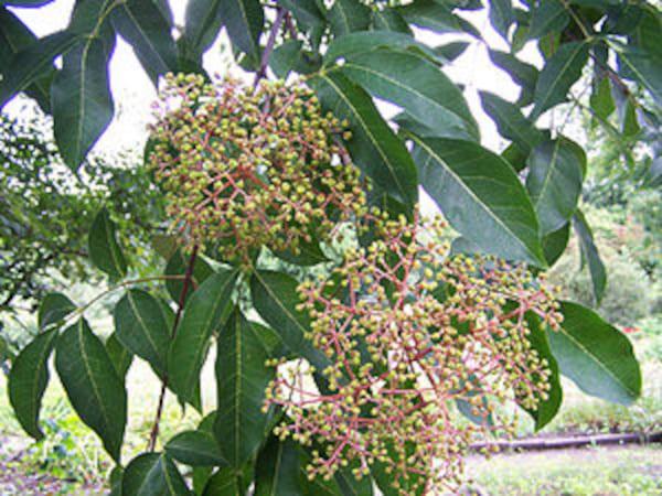 Bienenbaum - Pflanze des Monats 08/20