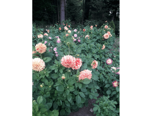 Unser Dahliengarten