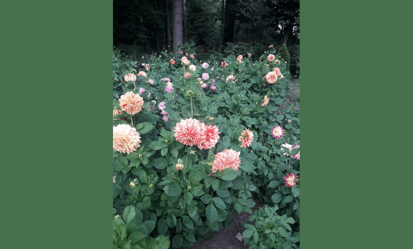 Beitragsbild - Unser Dahliengarten
